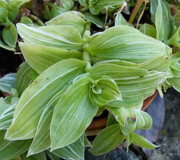 Tradescantia fluminensis Vell. 'Albovittata'