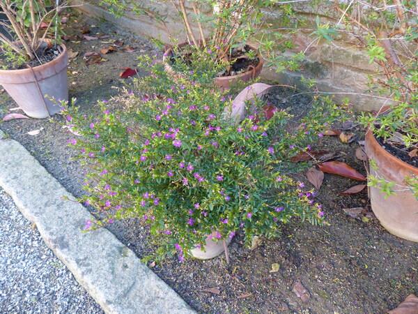 Cuphea hyssopifolia Kunth