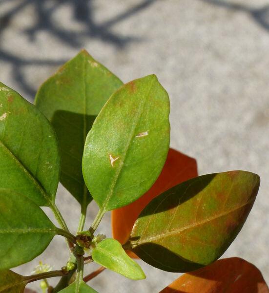 Clutia pulchella L.