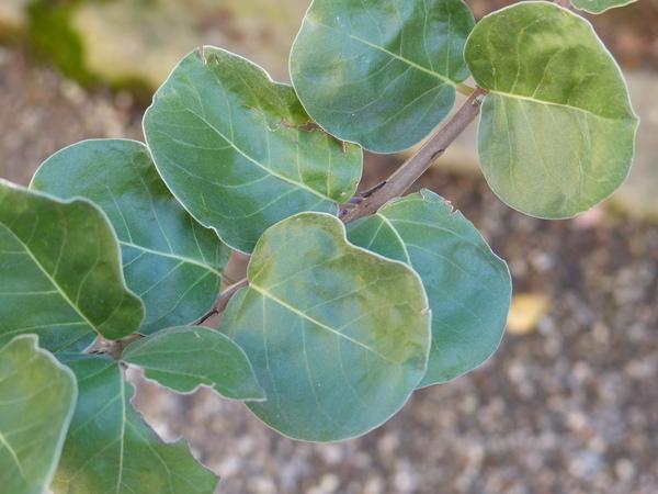 Vitex rotundifolia L.f.