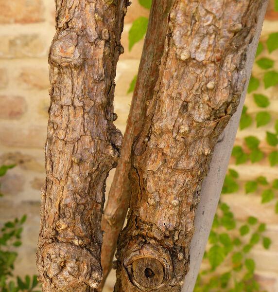 Solandra grandiflora Sw.