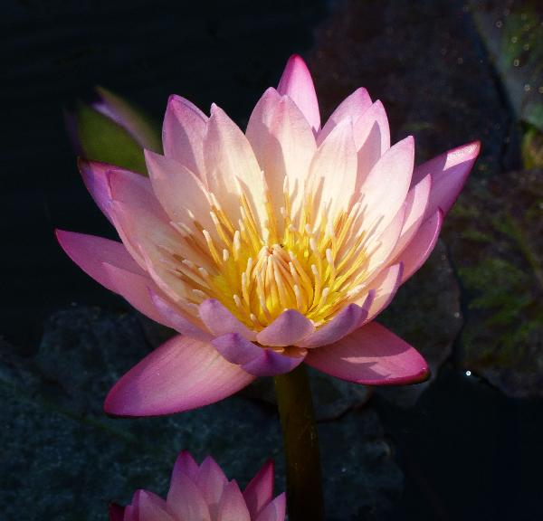 Nymphaea 'Tropical Sunset'