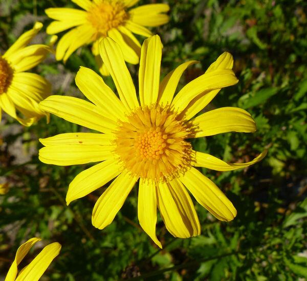 Euryops chrysanthemoides (DC.) B.Nord.
