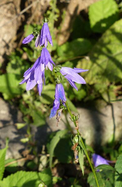Adenophora pereskiifolia (Fisch. ex Schult.) G. Don