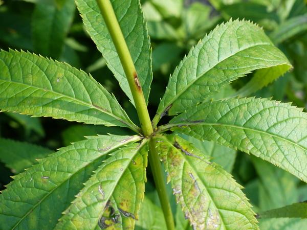 Veronicastrum virginicum (L.) Farw.
