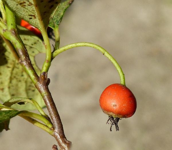Cotoneaster dammeri C.K.Schneid. subsp. dammeri