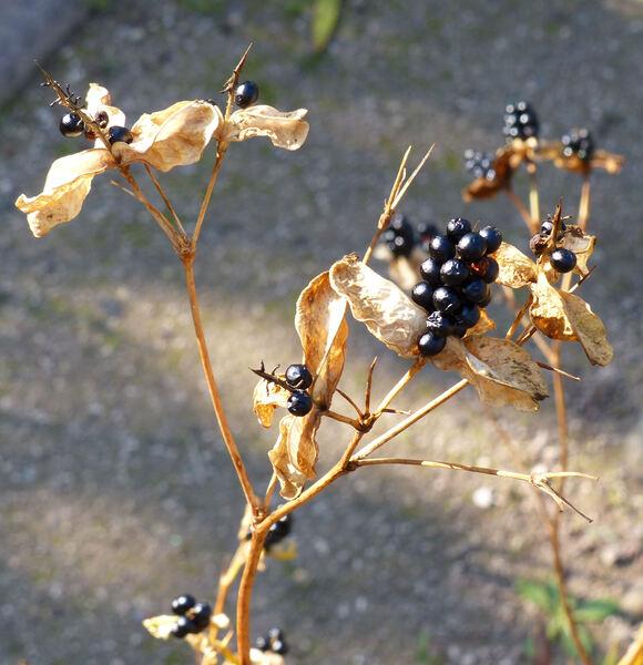 Iris domestica (L.) Goldblatt & Mabb.