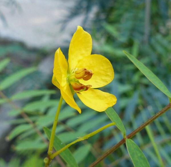 Cassia alexandrina (Garsault) Thell.