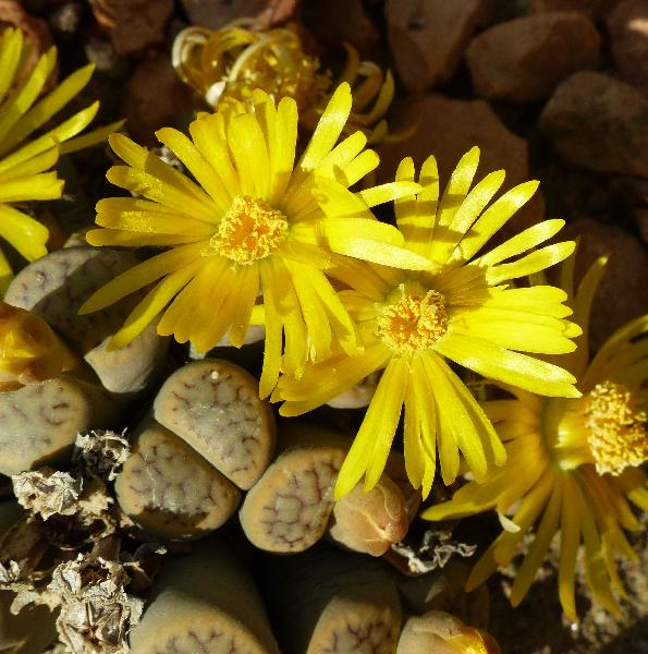 Lithops schwantesii Dinter