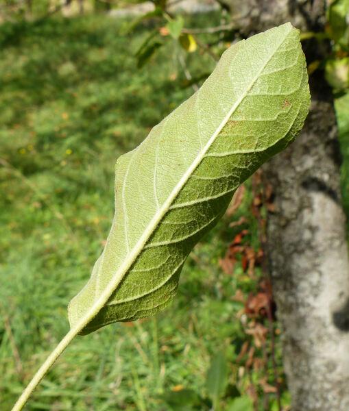 Malus domestica (Borkh.) Borkh. 'Starkrimson Delicious'