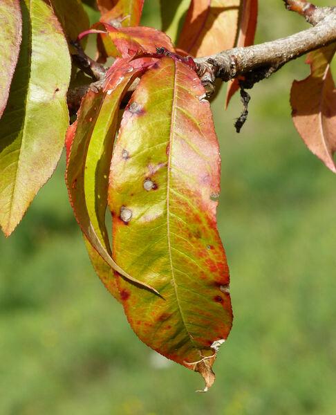 Prunus persica (L.) Batsch 'Cotogna del Poggio'