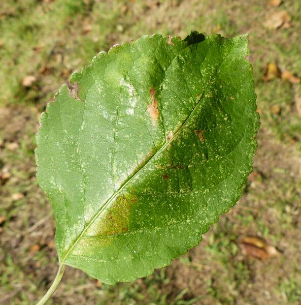 Malus domestica (Borkh.) Borkh. 'Calvilla Bianca'