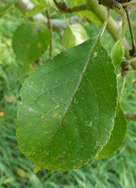 Malus domestica (Borkh.) Borkh. 'Gelata'