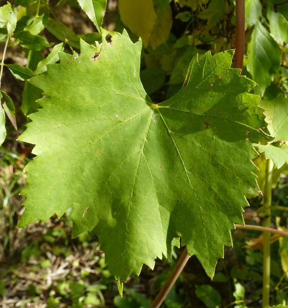 Vitis vinifera L. 'Sangiovese M42 Brunello'