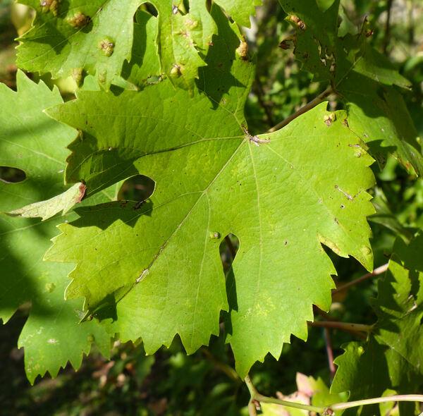 Vitis vinifera L. 'Montepulciano Nobile'