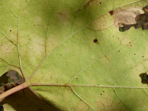 Vitis vinifera L. 'Canaiolo'