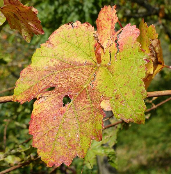 Vitis vinifera L. 'Colorino'