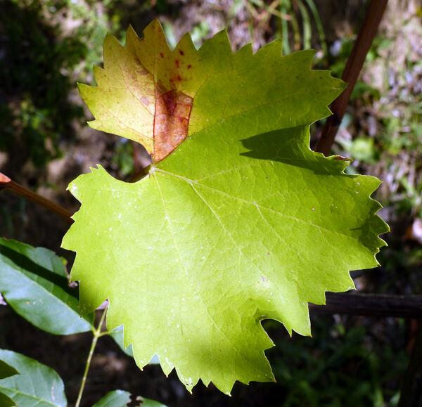 Vitis vinifera L. 'Ciliegiolo'