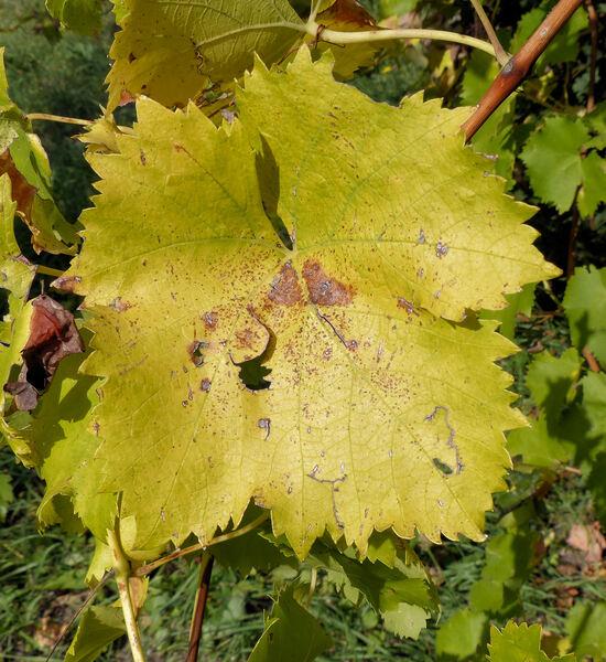 Vitis vinifera L. 'Moscato Giallo da Tavola'