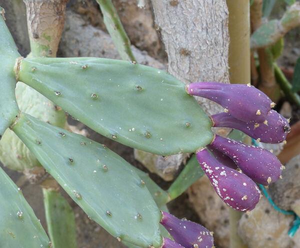 Opuntia dillenii (Ker Gawl.) Haw.