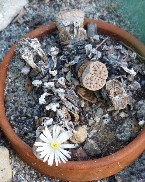 Lithops karasmontana (Dinter & Schwantes) N. E. Br. subsp. eberlanzii (Dinter & Schwantes) D. T. Cole