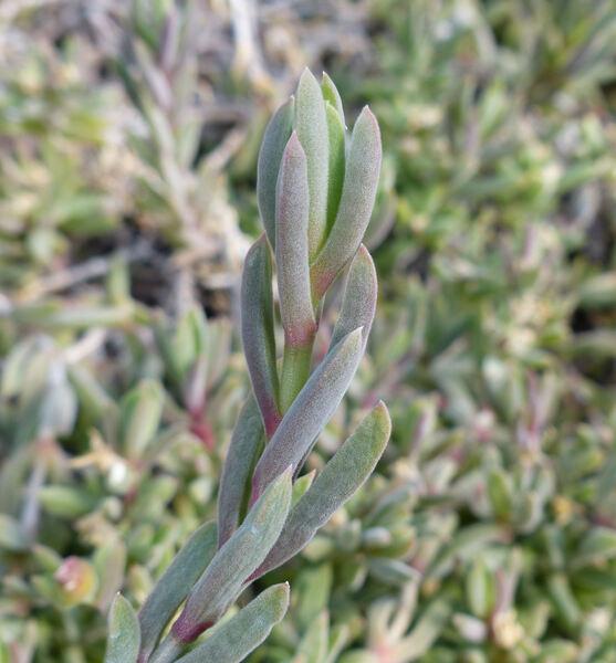 Lampranthus albus (L. Bolus) L. Bolus