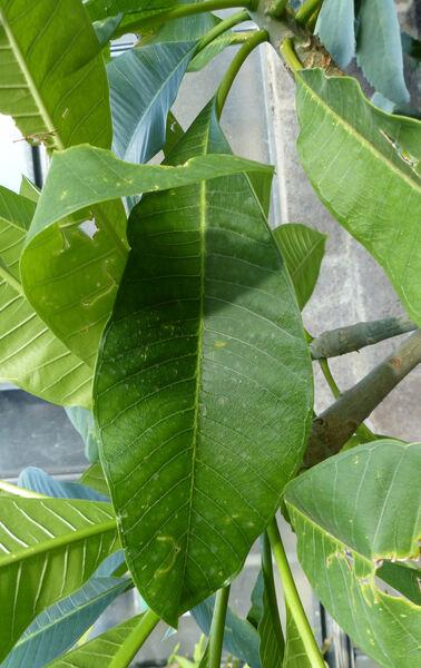 Plumeria rubra L. 'Acutifolia'