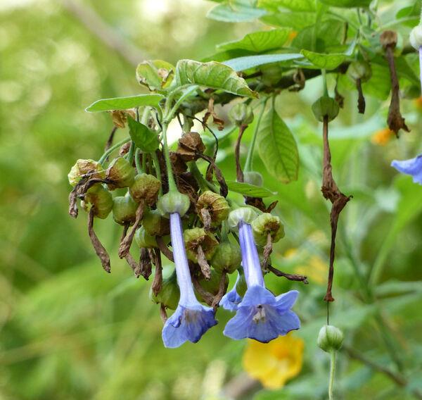 Iochroma grandiflorum Benth.