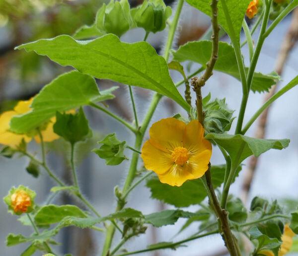 Abutilon indicum (L.) Sweet