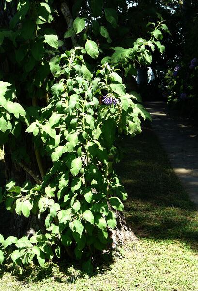 Iochroma cyaneum (Lindley) M. L. Green