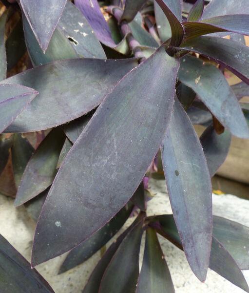 Tradescantia pallida (Rose) D.R. Hunt 'Purpurea'