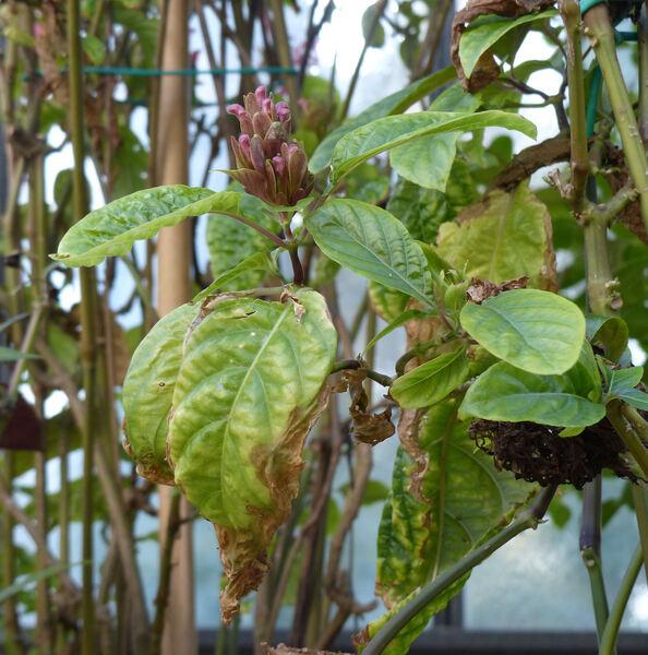 Jacobinia carnea (Lindl.) Nichols
