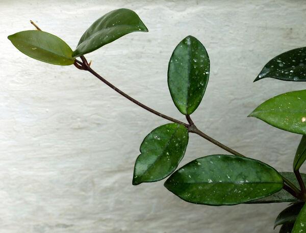 Hoya carnosa (L.f.) R.Br.