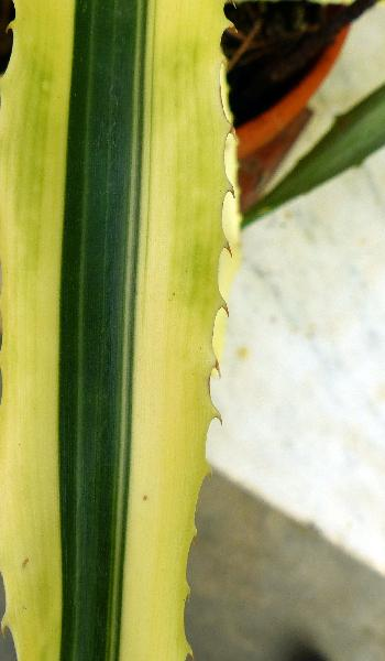 Ananas comosus (L.) Merr. 'Variegata'