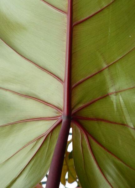 Philodendron sagittifolium Liebm..