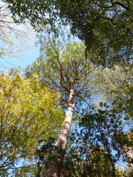 Pinus roxburghii Sarg.