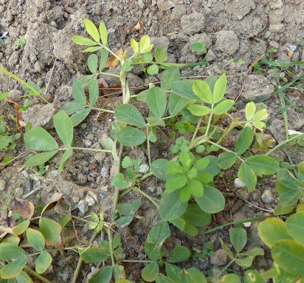 Arachis hypogaea L.