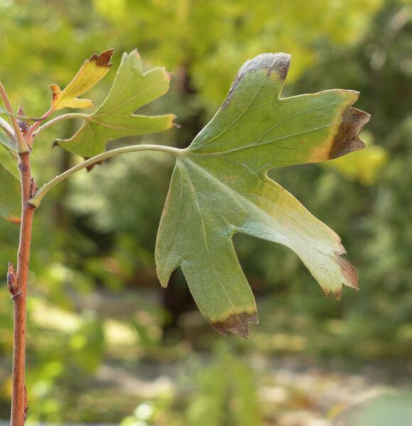 Ribes aureum Pursh