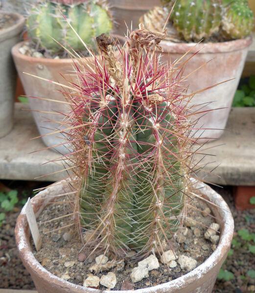Thelocactus bicolor (Galeotti ex Pfeiff.) Britton & Rose var. tricolor K. Schum.