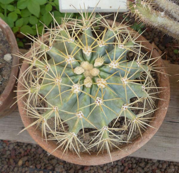Ferocactus glaucescens (DC.) Britton & Rose