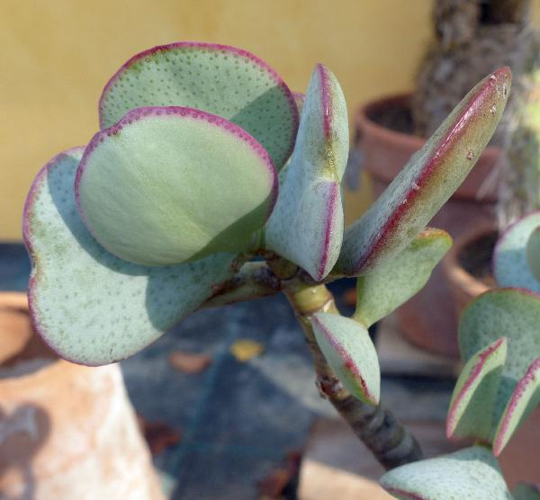 Cotyledon orbiculata L.