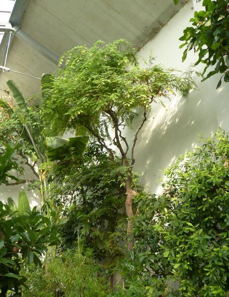 Tamarindus indica L.