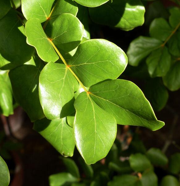 Rauvolfia tetraphylla L.