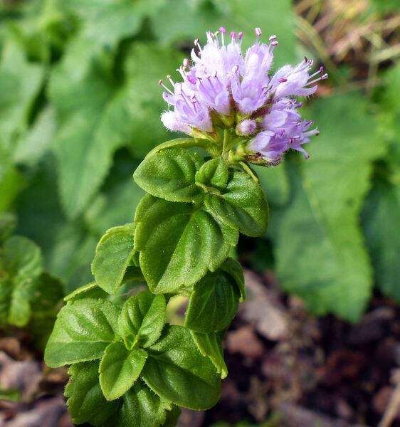 Mentha x rotundifolia (L.) Huds.