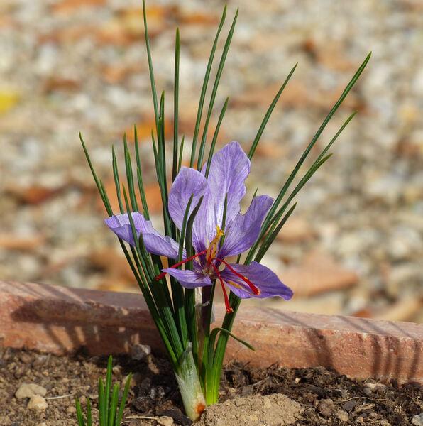 Crocus sativus L.