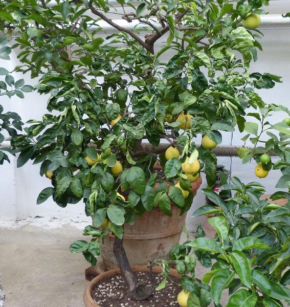 Citrus x lumia Risso & Poit.