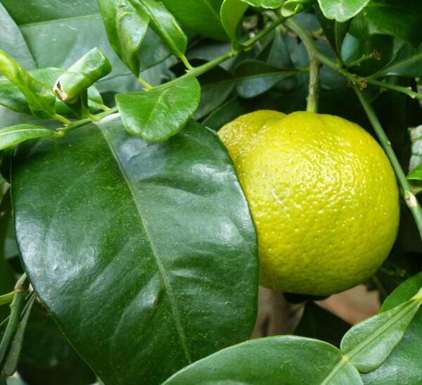 Citrus x aurantium L. 'Corniculata'