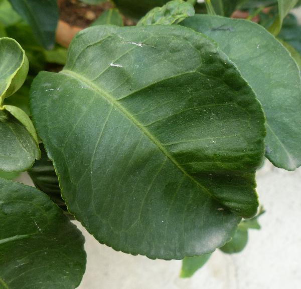 Citrus x aurantium L. 'Bizzarria'