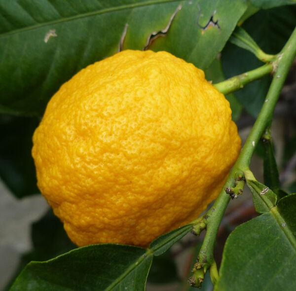 Citrus x aurantifolia (L.) Swingle