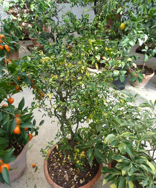 Citrus trifoliata L. 'Flying Dragon'